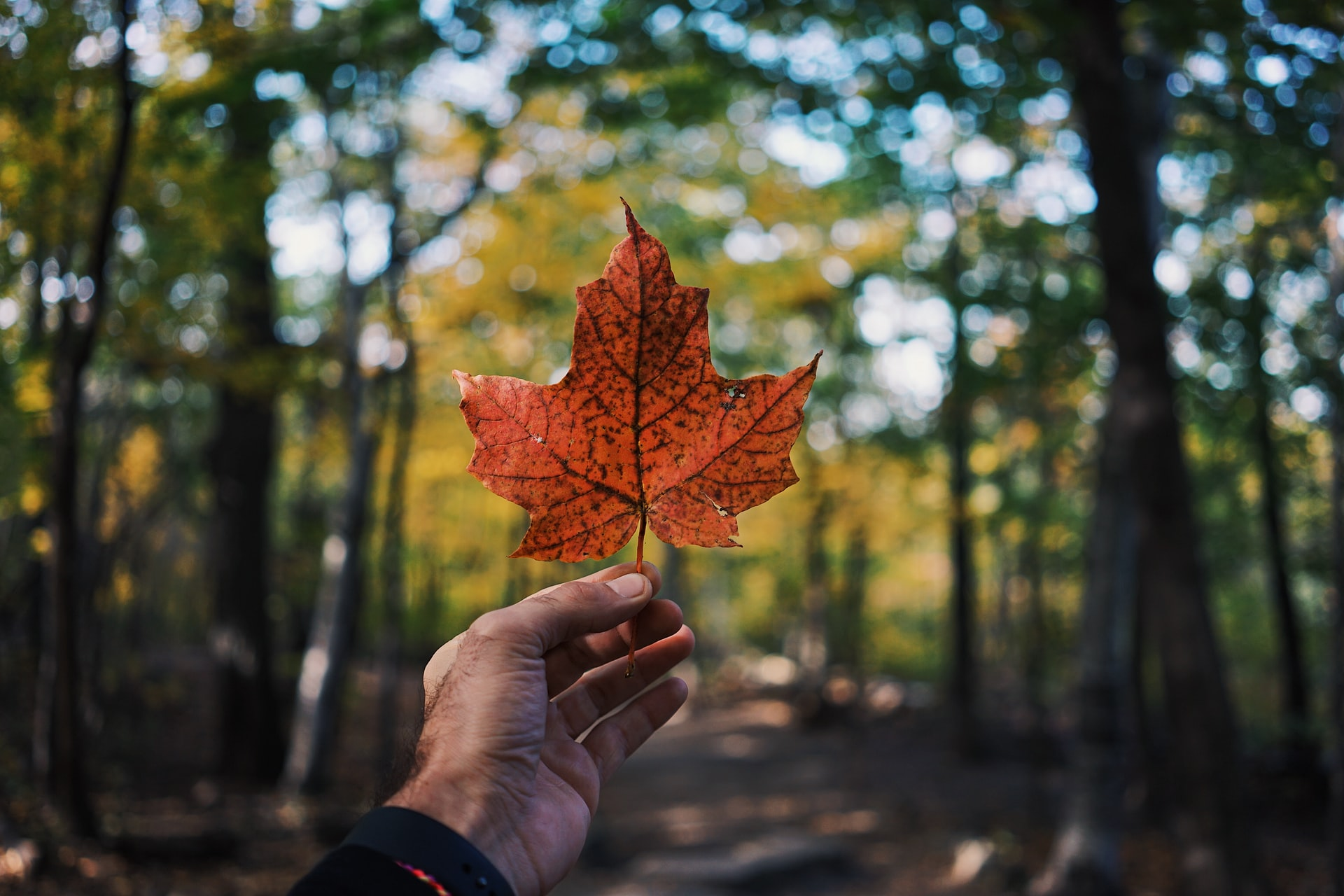 A person holding a red maple leaf, a symbol of Canada and immigration aspirations through IRCC.